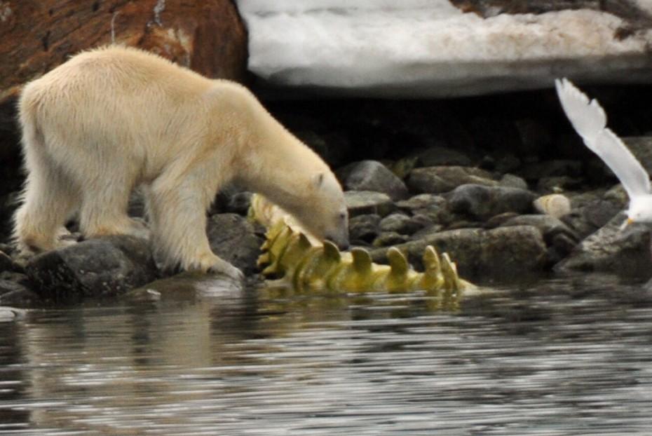 Eisbär bei Skelett Spizbergen