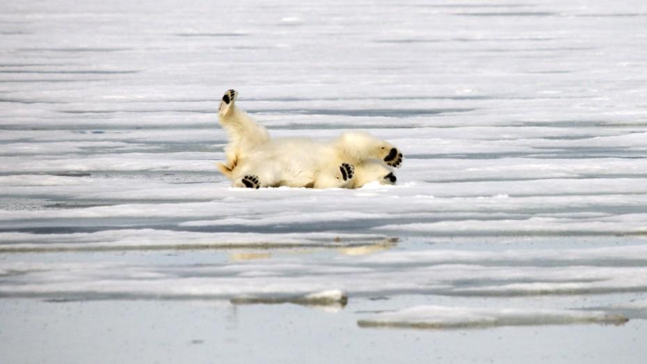 spielende Eisbär Mushamna Spitzbergen