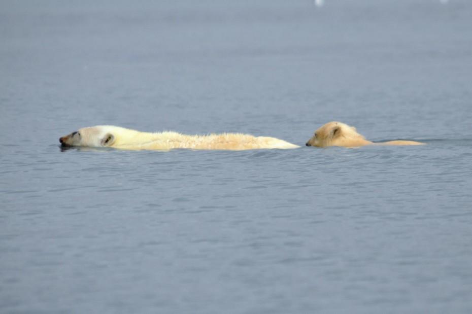 schwimmende Eisbäre Spitzbergen