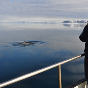 minke-whale-spitsbergen