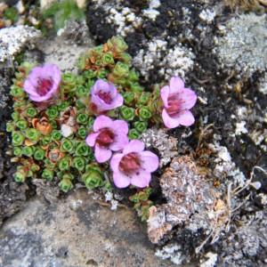 paarse-bloemen-spitsbergen