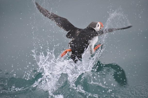 papegaaiduiker Spitsbergen