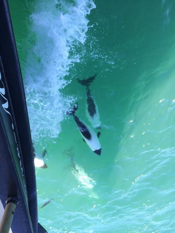 commerson delfin patagonia