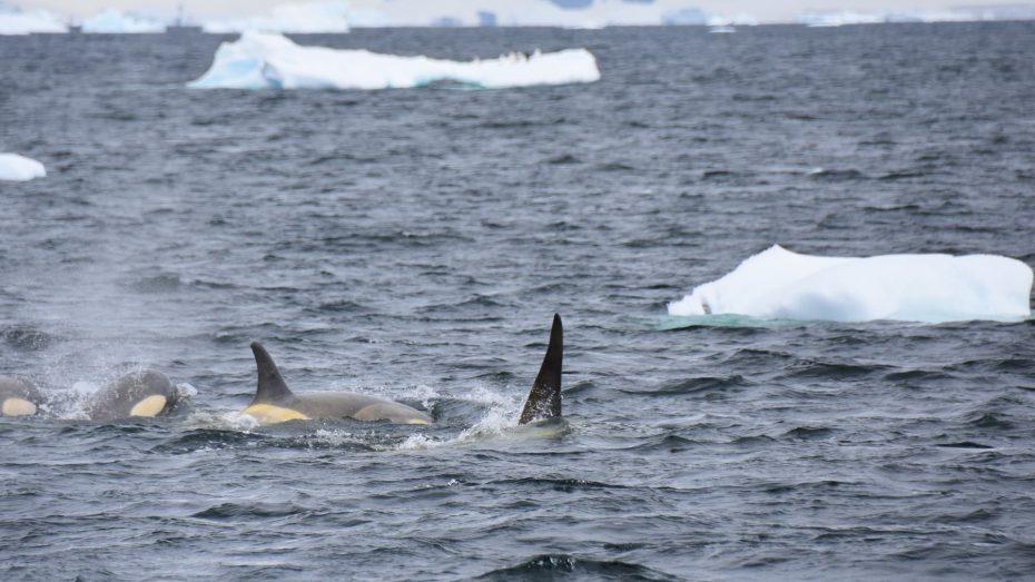 orkas antarctica