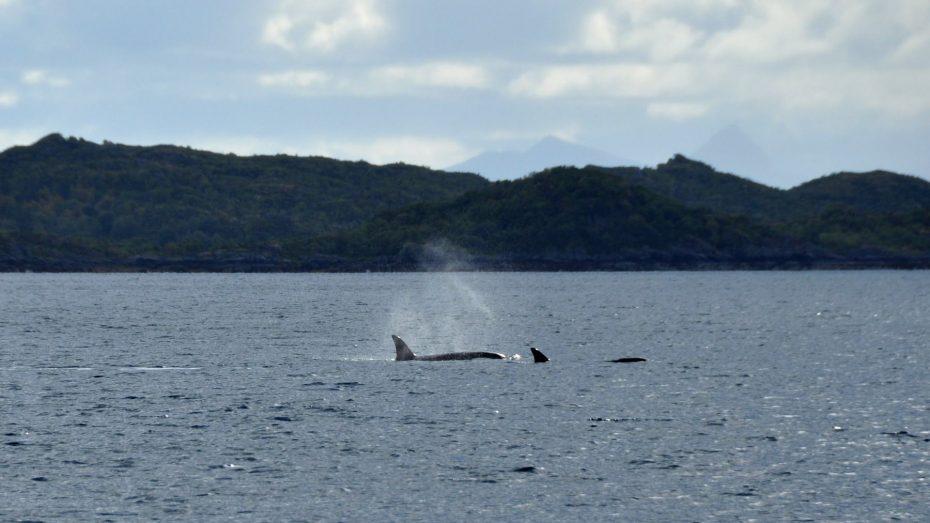 Killer whales Lofoten