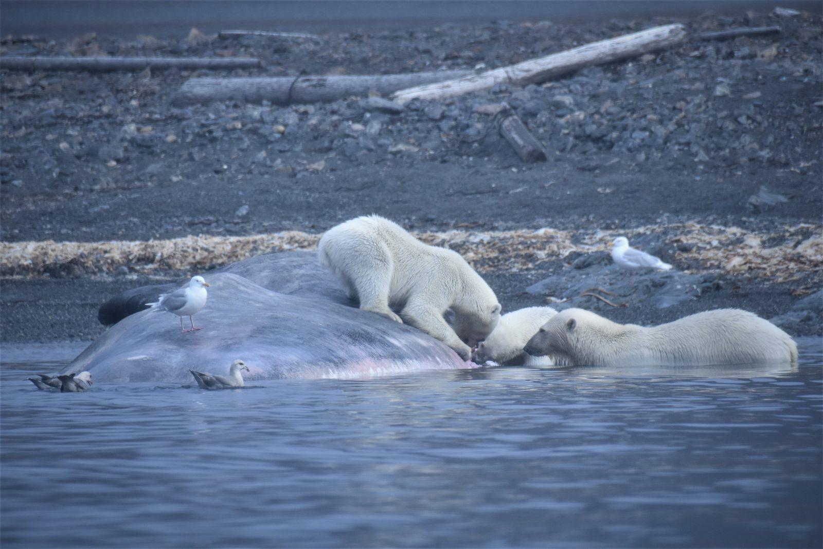 ijsberen eten walvis