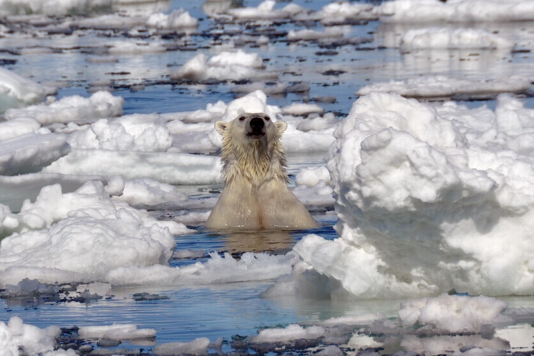 Spitzbergen-Eisbear